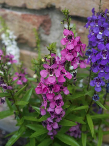 Pink and Purple Larkspur Flowers