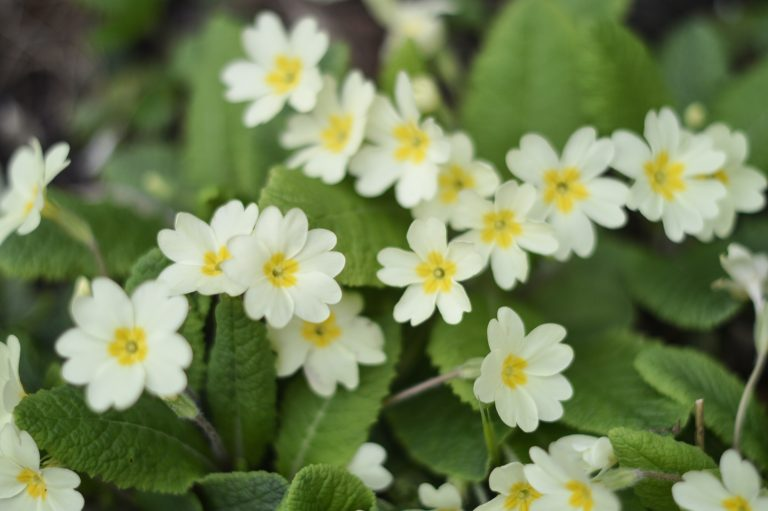 Garden of primroses, the February birth flower
