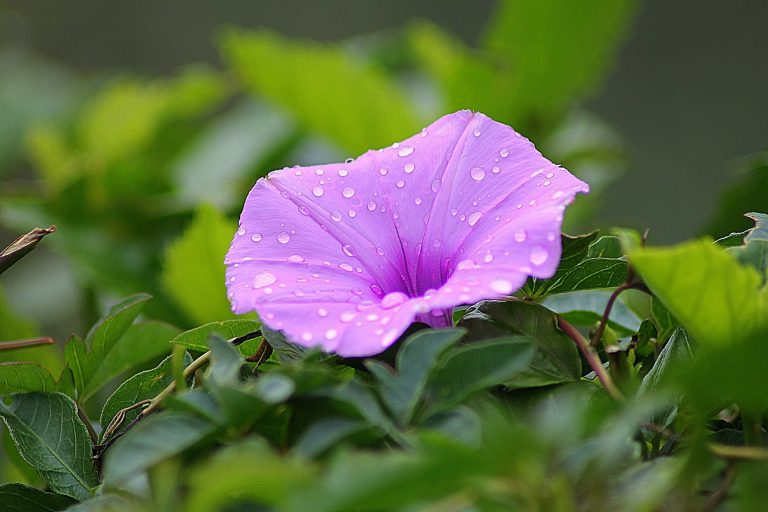 A purple morning glory, the September birth flower