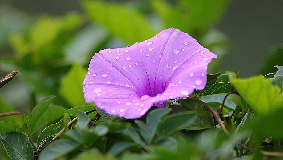 Morning glory meaning