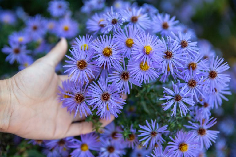 Hand holding purple aster flowers