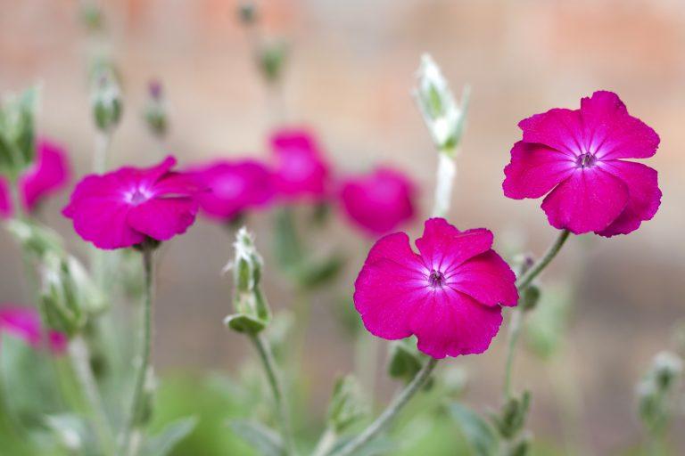 garden of rose campion