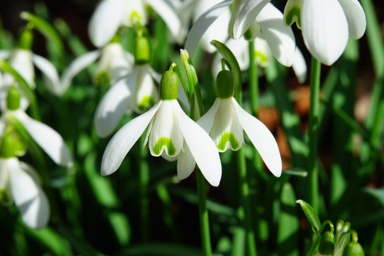 Garden of fresh snowdrops, the January birth flower