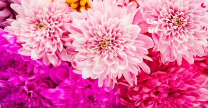 Sweet color chrysanthemums for the soft background.