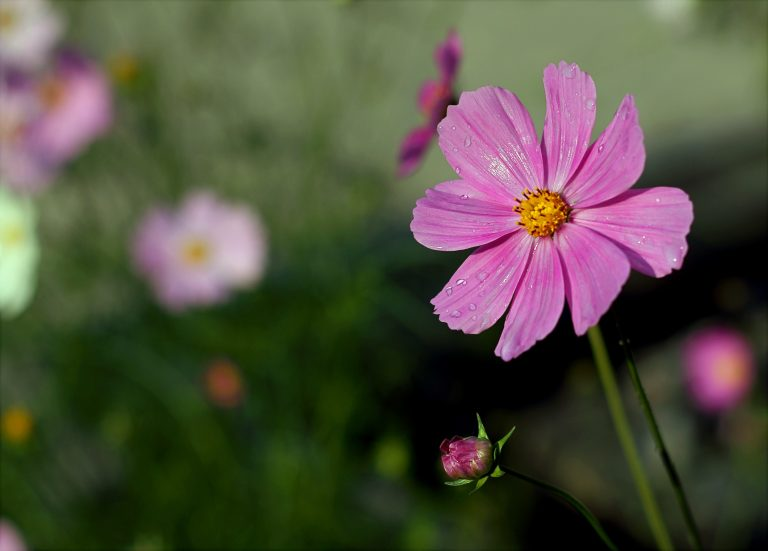 Pink cosmos, the October birth flower