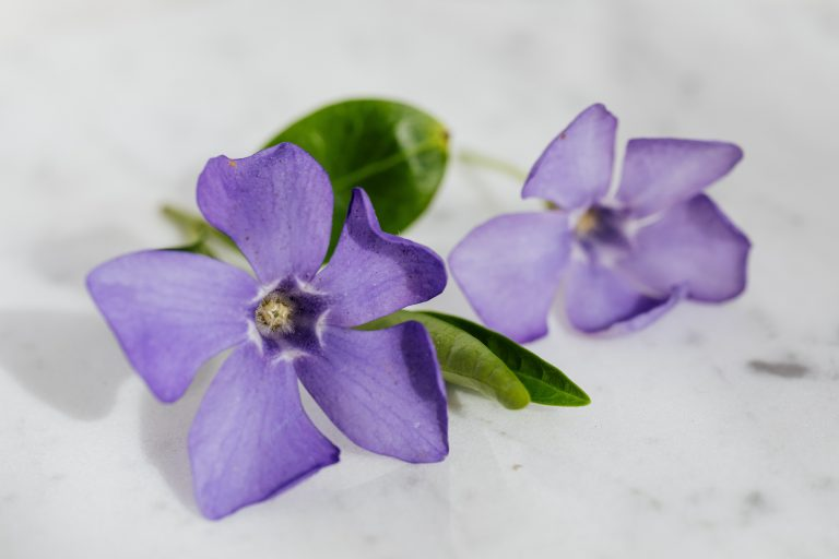 Violet flowers, the February birth flower