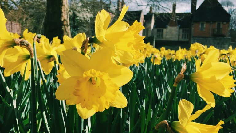 Garden full of yellow daffodils, the March birth flower