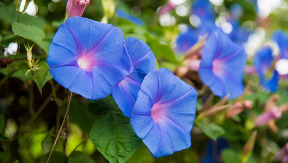 How to Grow Morning Glory Flowers