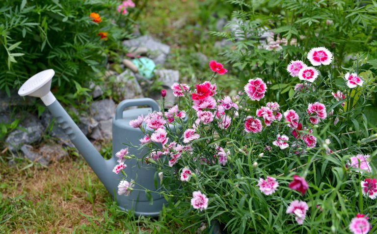 Beautiful flowerbed with carnation flowers and watering can in the garden.
