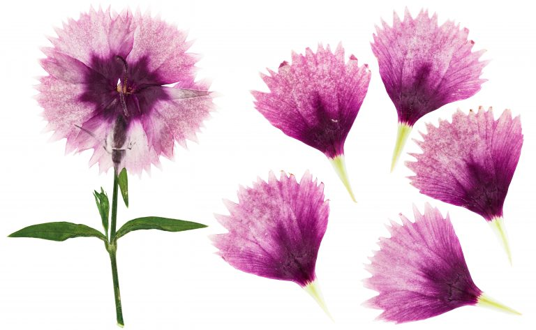 Pressed and dried purple carnation flowers for use in scrapbooking, floristry or herbarium.