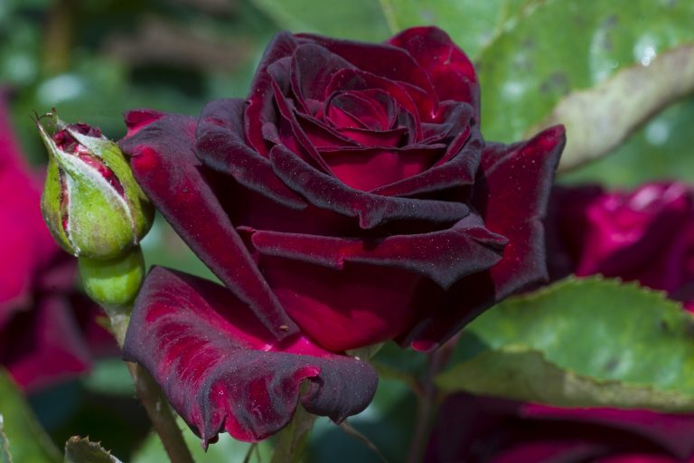 Black Baccara Rose in full bloom and bud