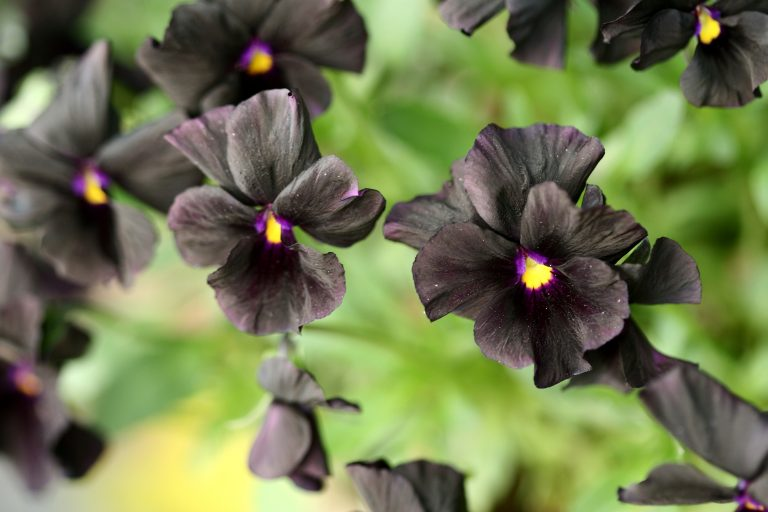 Black pansy flowers
