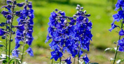 Field of blue delphinium flowers