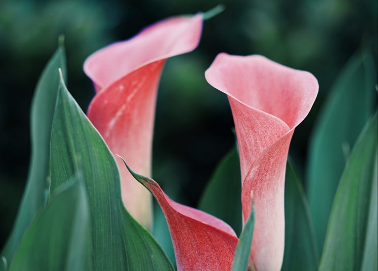 Calla Lily - Melrose blossoms