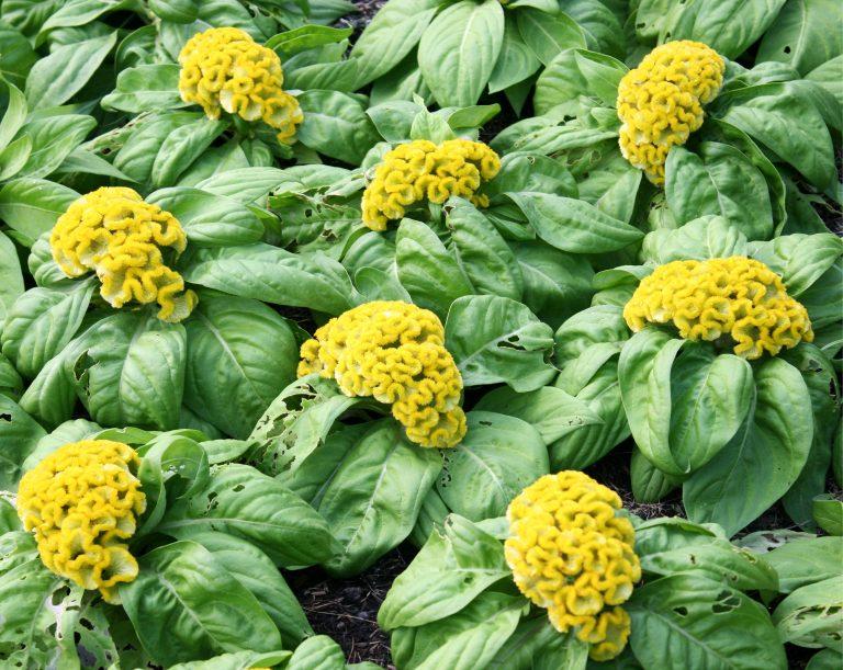 Bush of green Cockscomb flowers in full bloom