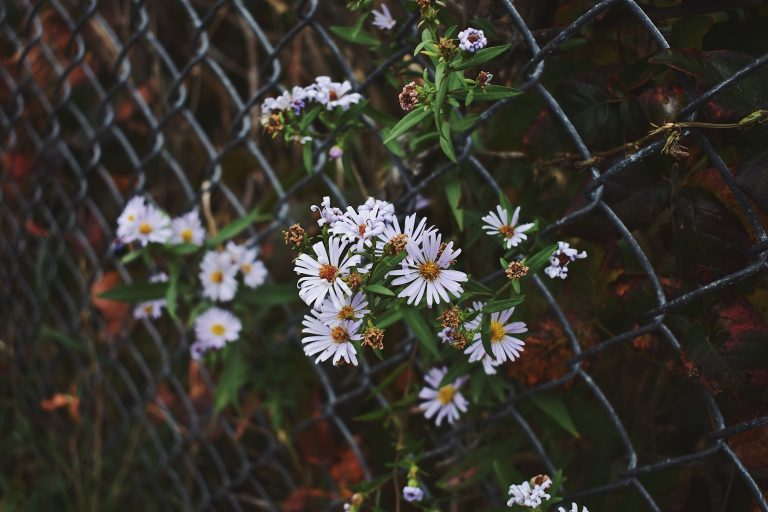 First Snow aster flowers
