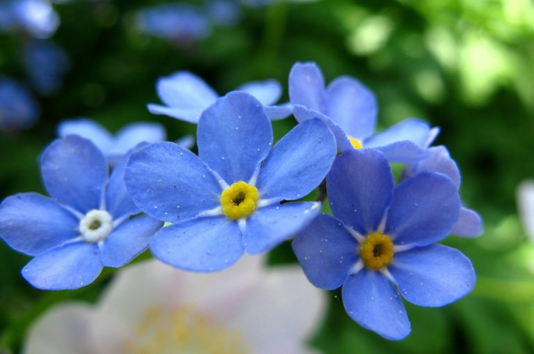 Forget-Me-Nots in full bloom