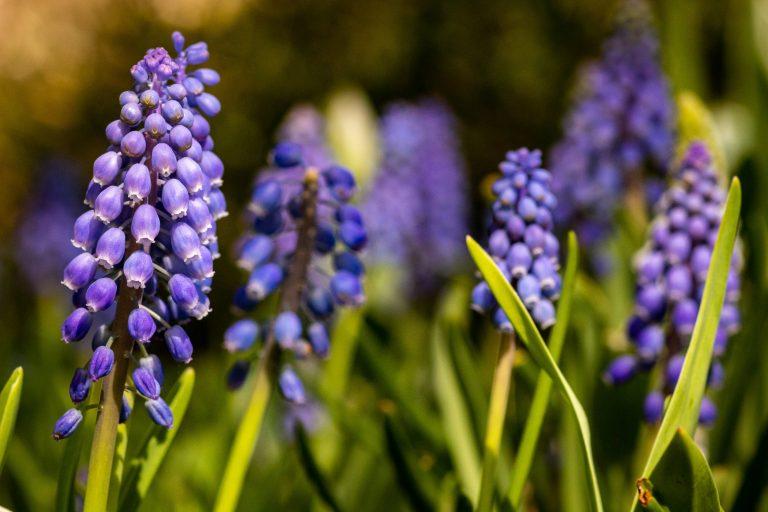 a garden full of grape hyacinth flowers