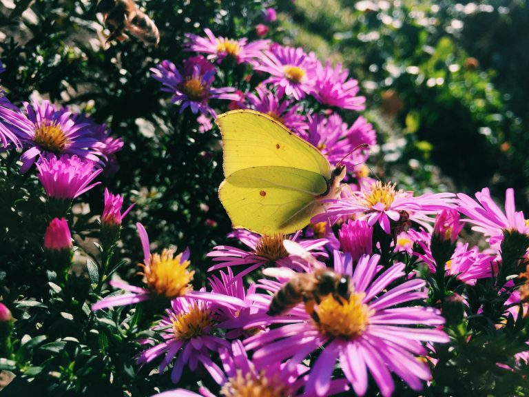A butterfly on one of the many bright Grunder (Aster amellus)