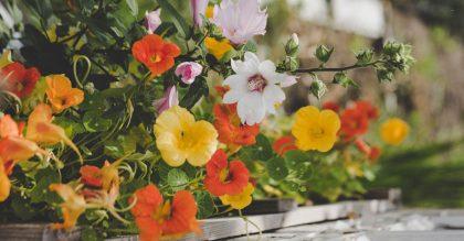 Growing hollyhock flowers