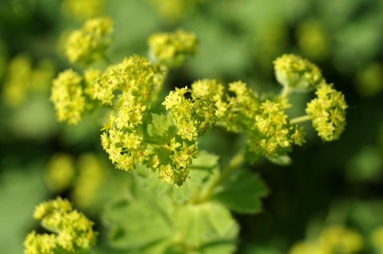 Ssmall green flowers of alchemilla, the Lady´s Mantle in morning sun