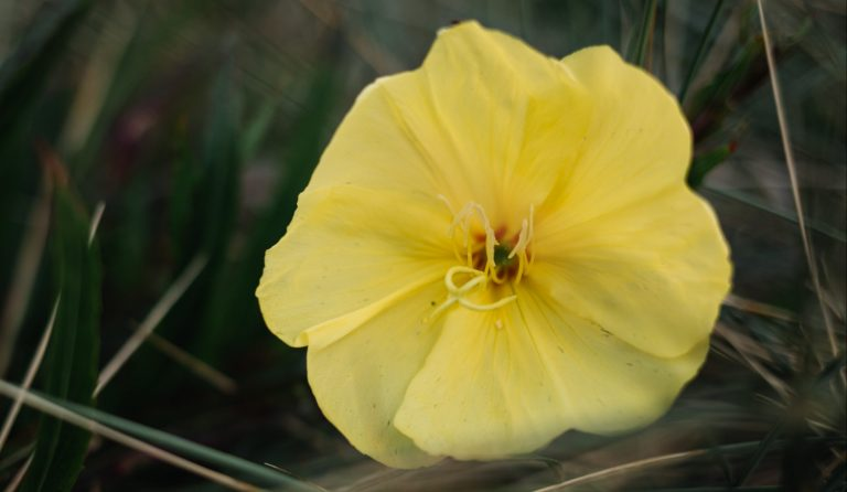 Yellow Oenothera macrocarpa primrose flower growing in a garden