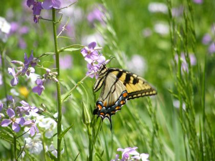 a butterfly hovering on Phlox Divaricata flowers