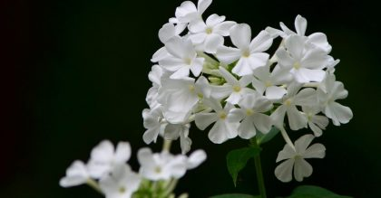 Growing phlox plants
