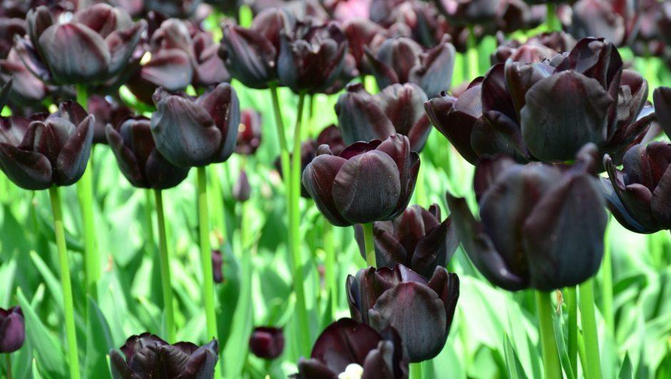 List of Black Flowers