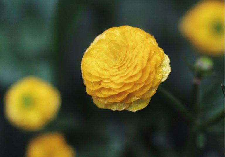 Ranunculus Acris flowers