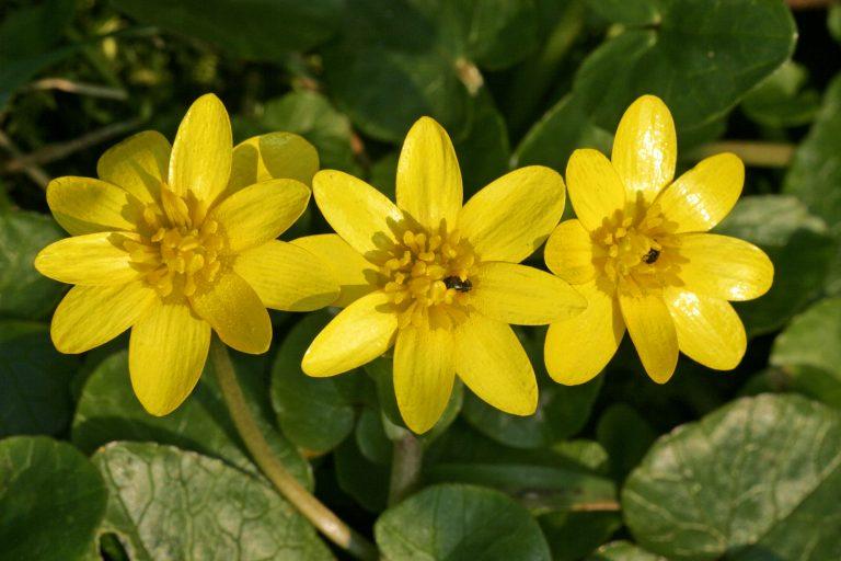 Flowering pilewort - lesser celandine (Ranunculus ficaria)