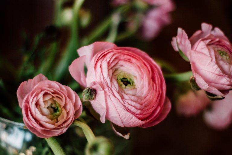 Ranunculus Venere flowers