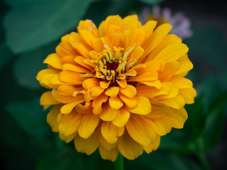 Yellow double zinnia flower