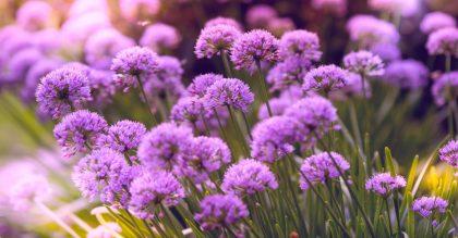 allium flowers in full bloom during daylight