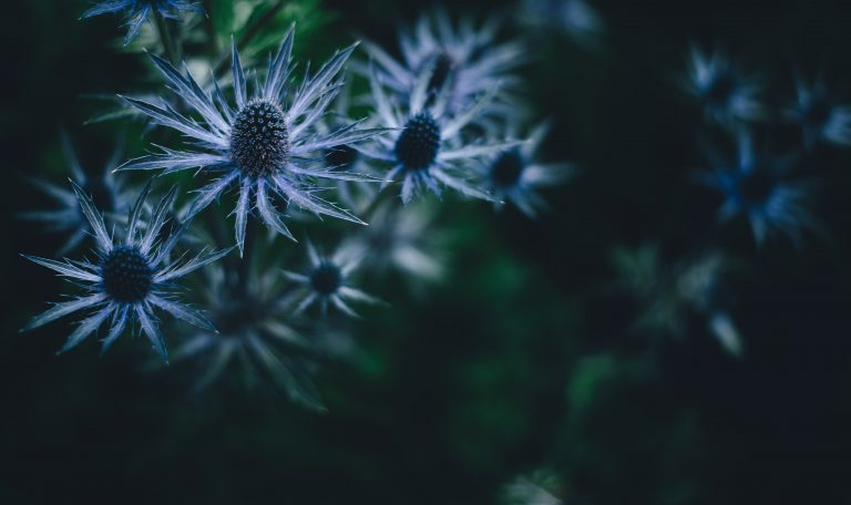 Sea holly bush with blue flowers