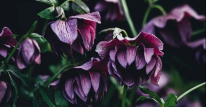 How to Grow Hellebores Flowers