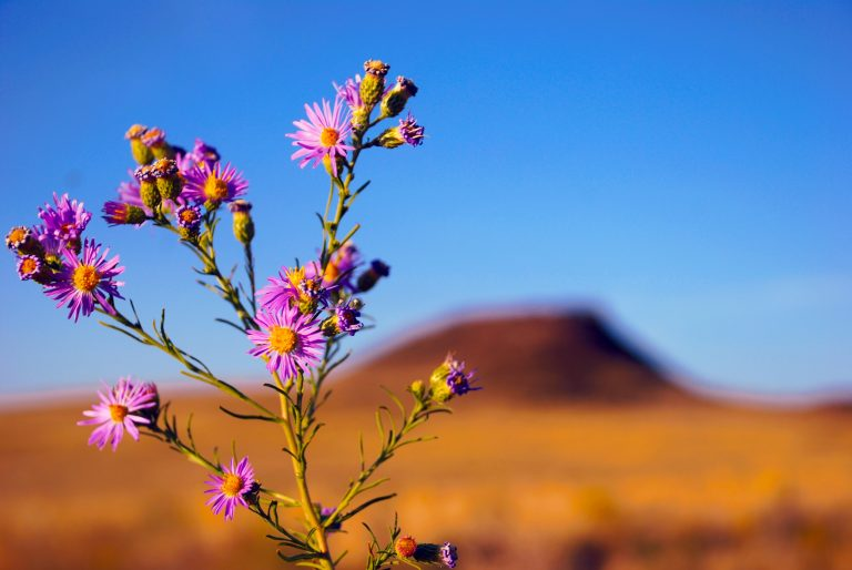 aster flowers in the middle of a dry and wide land