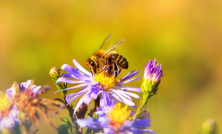 a bee sucking an aster flower