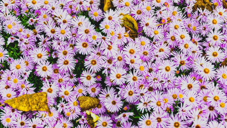 A field of purple aster flowers