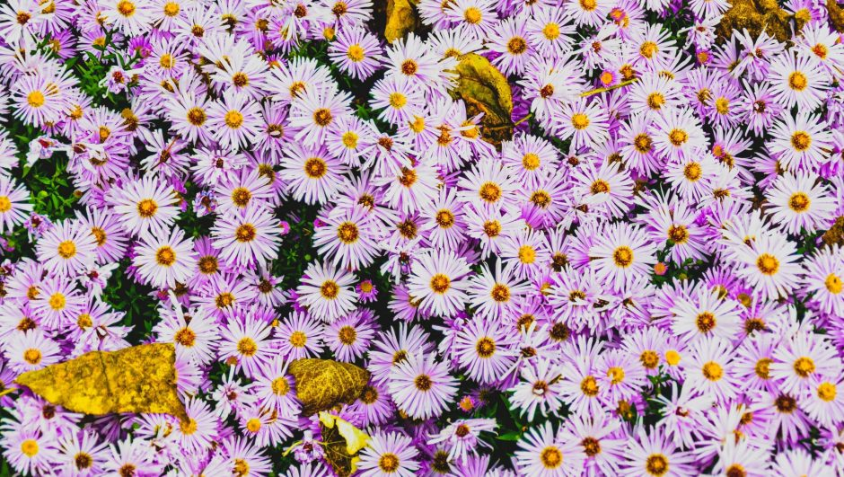 aster flowers with brown dried leaves