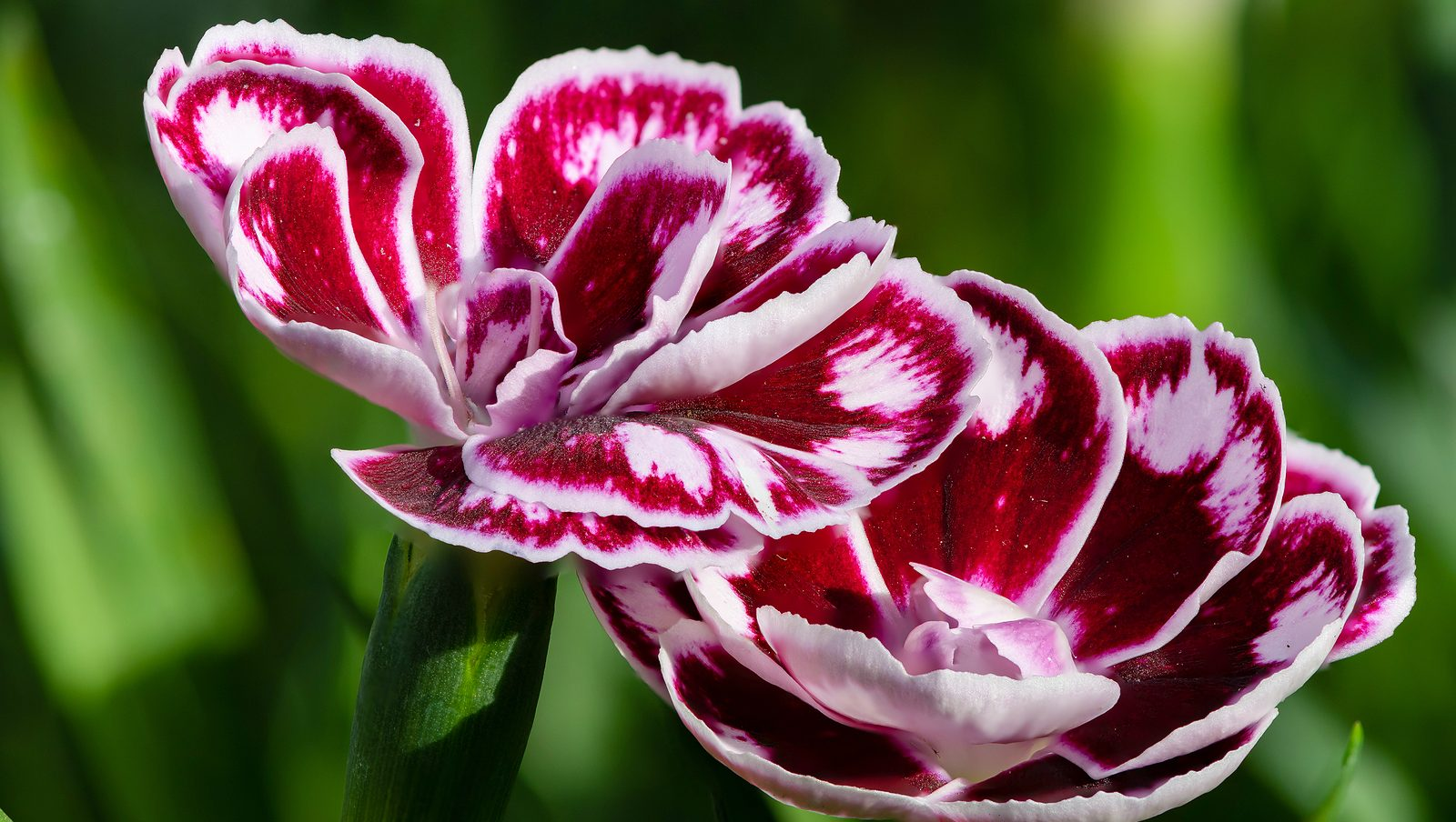 Grow Dianthus Flowers