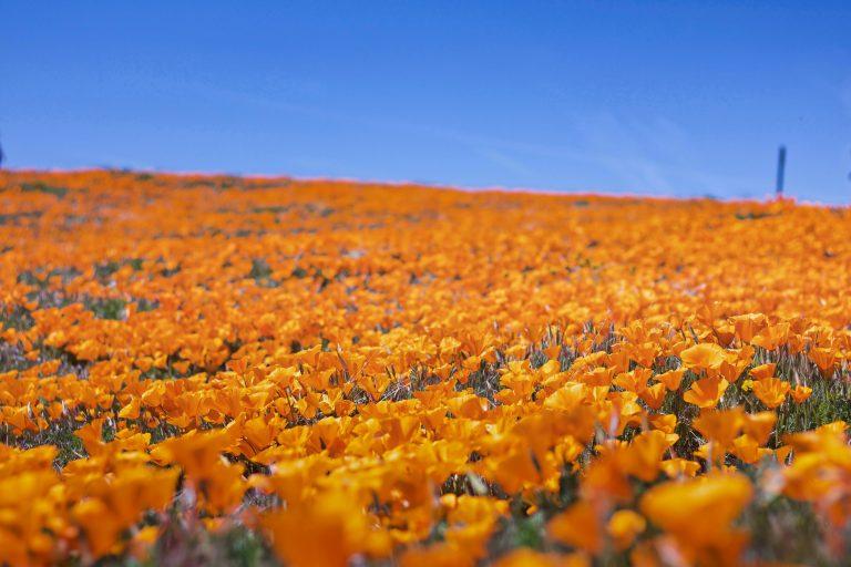field of orange california poppy