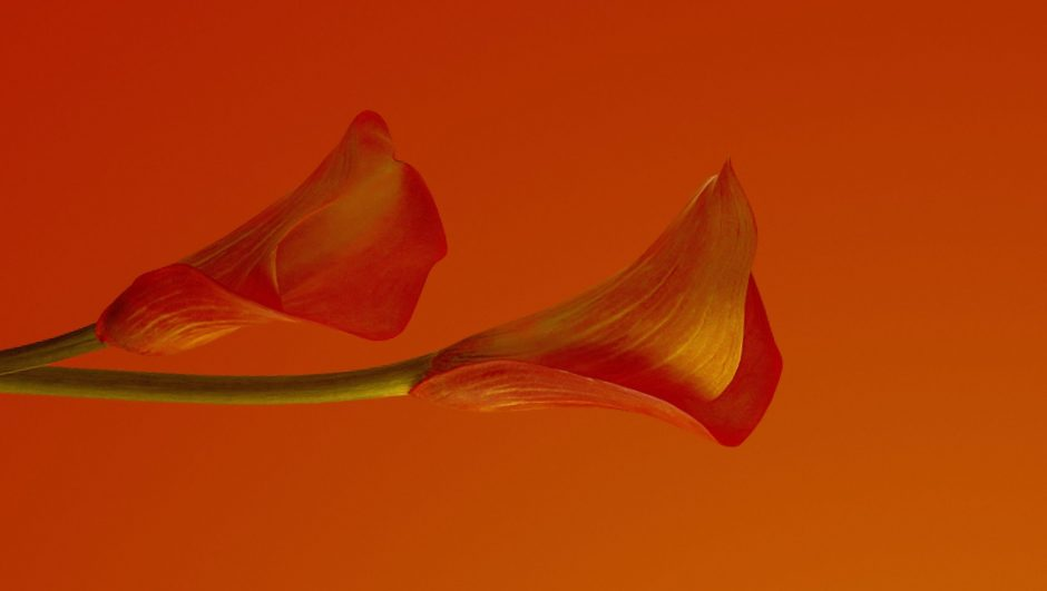 calla lily in flame color