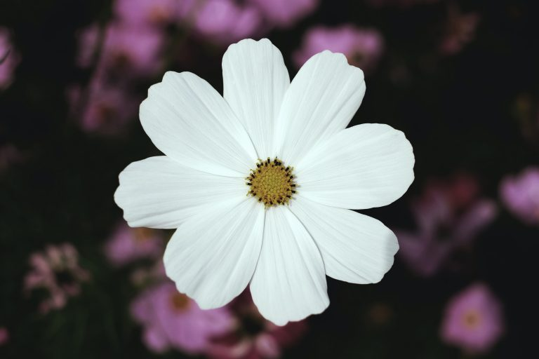 White cosmos flower with purple cosmos flowers in the background