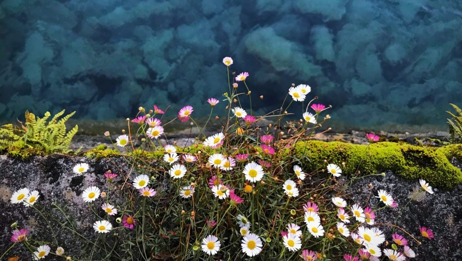 purple and white cosmos flowers with overlooking body of water