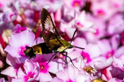 an insect on top of some creeping phlox