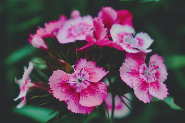 dianthus chinensis flowers