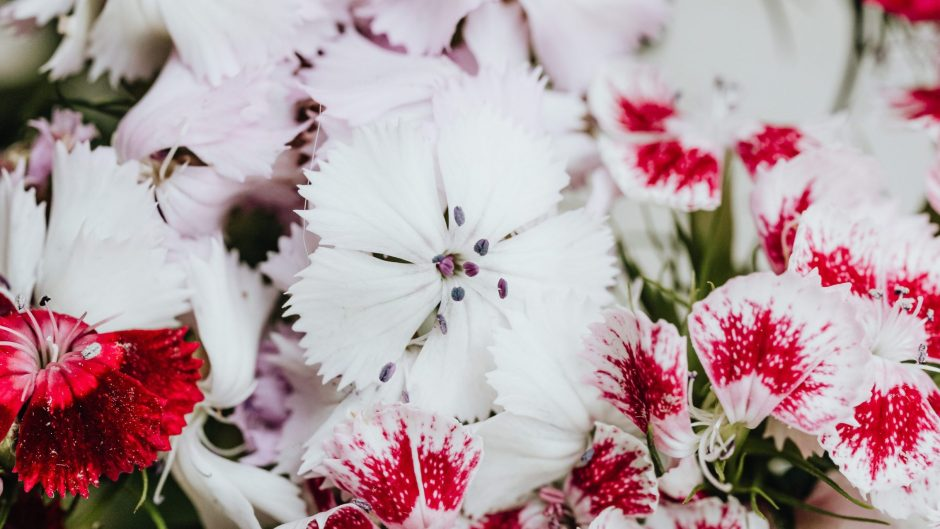Types of dianthus flowers