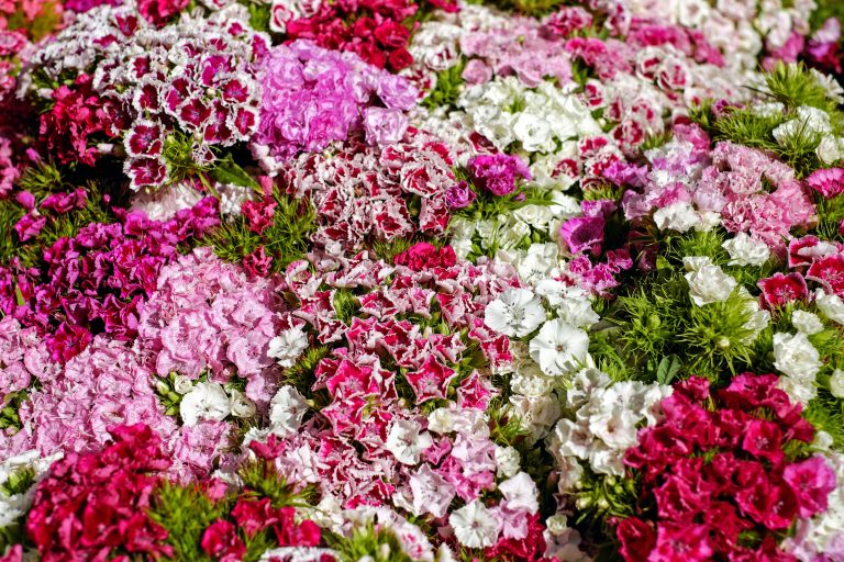 dianthus flowers in different varieties