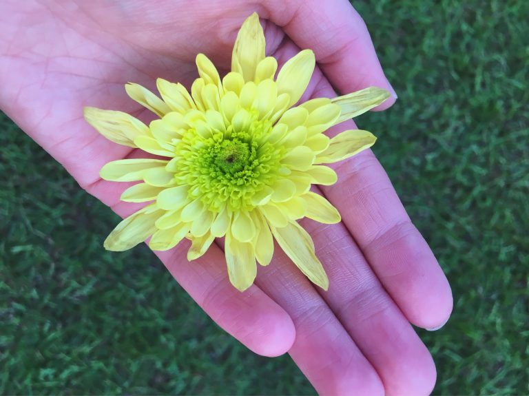 Green dahlia flower on top of a hand